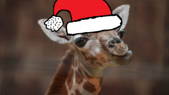 giraffe ☯